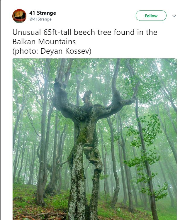 Twitter screen capture: Unusual 65ft-tall beech tree found in the Balkan mountains (photo: Deyan Kossev) over a photo of a tree which has somehow come to look like human with arms upraised.